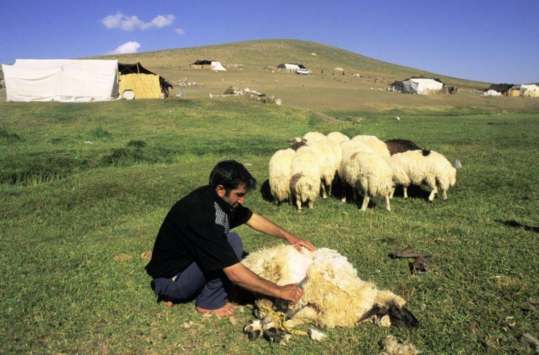 Ein kurdischer Schäfer im Kesis-Tal im türkischen Ostanatolien bei der Schafschur.  Foto: dpa/akg-images